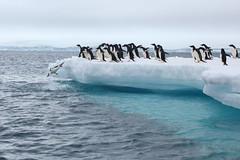 IMG_3702 (y.awanohara) Tags: adelie adeliepenguins penguins antarctica antarcticpeninsula wildlife january2019 icebergs ice icefloes