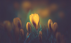 Crocus (Dhina A) Tags: sony a7rii ilce7rm2 a7r2 a7r 135mm f28 t45 stf sony135mmf28stf sal135f28 smoothtransitionfocus minolta smooth soft silky bokeh bokehlicious apodization spring crocus flower