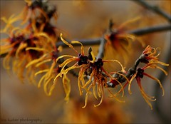 There are few things that are more beautifully infectious than true kindness.... (itucker, thanks for 5+ million views!) Tags: macro bokeh hbw witchhazel jelena raulstonarboretum
