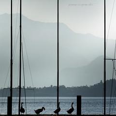le 4 oche selvagge (pamo67) Tags: thefourwildgeese pamo67 pier molo controluce backlight silhouette lago lake foschia mist square pennuti feathered pasqualemozzillo