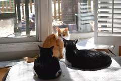 "Jimmy: ""Here's the plan."" (3 of 3) (rootcrop54) Tags: jimmy orange ginger tabby longhaired male cat idaho males tuxedo tina tuxedos neko macska kedi 猫 kočka kissa γάτα köttur kucing gatto 고양이 kaķis katė katt katze katzen kot кошка mačka gatos maček kitteh chat ネコ"