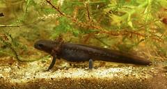 Cynops orientalis, larvae (henk.wallays) Tags: stages cynopsorientalis larvae salamandridae caudata aaaa nature amphibia chordata cynops year2019 date