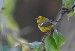 Blue-winged Warbler (Christopher Lindsey) Tags: bluewingedwarbler birds birding losangelescounty california male nonbreeding