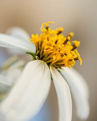 The Pearl Principle (risaclics) Tags: bokeh flora flowersmakemesmile 60mmmacro february2019 nikond610 daisy crazytuesday flowers