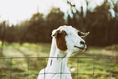 This kid (Sarah Rausch) Tags: sony spiderweb kid fence goat 50mm rural 22 bokeh