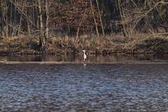 NGIDn636365384 (naturgucker.de) Tags: ngidn636365384 2019 ausenaufnahme graureiher lindensee mönchbruch mörfeldenwalldorf natur niemand reiher rüsselsheim tiere vogel wald waldsee wasser