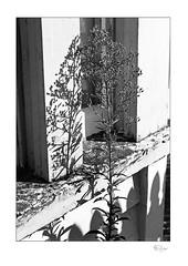 Shadow Series 003 (radspix) Tags: yashica 230af kyocera af f3545 ilford fp4 plus pmk pyro 2885