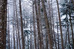snow (Jos Mecklenfeld) Tags: winter snow schnee sneeuw forest wald bos nature natur natuur nulbos westerwolde sonya6000 sonyilce6000 selp1650 sonyepz1650mm niederlande nederland terapel groningen netherlands nl
