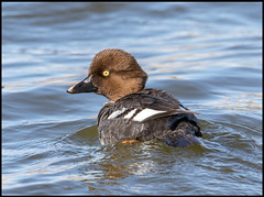Goldeneye (Ed Sivon) Tags: america canon nature lasvegas wildlife wild western water southwest desert duck clarkcounty vegas flickr bird henderson nevada