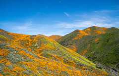 Walker Canyon Poppy Fields (anshelsag) Tags: walker canyon poppy fields superbloom super bloom wild flower flowers wildflowers