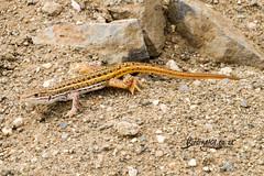 Common Rough-scaled Lizard, Timbavati, Kruger National Park, Jan 2019 (roelofvdb) Tags: 2019 commonroughscaledlizard date january knp lizzard place roughscaledlizard sareptiles satara year rep107