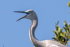 Hybrid Great Blue Heron - Great Egret Talking (dbadair) Tags: nature wildlife 7dm2 ef100400mm canon florida bird blue outdoor
