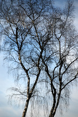 Slim Like A Birch (gripspix (Easter Break 4 Family)) Tags: 20190216 schwenningermoos swamp sumpflandschaft moor tree baum birch birke treetop baumbrone