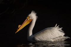 20190408-DSC_7420ext-2.jpg (GrandView Virtual, LLC - Bill Pohlmann) Tags: bird americanwhitepelican wisconsin wildlife waterfowl stcroixriver northhudsonwi