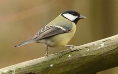 Great Tit (Bogger3.) Tags: greattit venuspool post wood canon7dmk2 canon300mmlens coth5