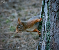 A mischievous red squirrel (vickyouten) Tags: redsquirrel squirrel nature wildlife britishwildlife wildlifephotography nikon nikond7200 nikonphotography sigma150600mm formbybeach formby liverpool vickyouten