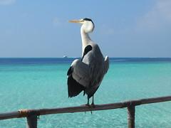 Heron, Moofushi, Maldives (davidpetergibbins) Tags: