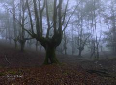 Mañana de niebla (azucena G. De Salazar) Tags: niebla lainoa fog basoa forest bosque hayedo beech bizkaia basquecountry paisvasco euskalherria euskadi