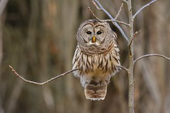 Barred Owl (Rob E Twoo) Tags: wildlife ontario canada barred owl nature naturaleza