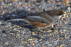 Boreal Chickadee (Poecile hudsonica) (stitchersue) Tags: borealchickadee poecilehudsonica chickadee winter snow birdseed darlingtonprovincialpark ontario