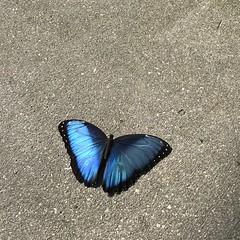 Blue Morpho (top side). (h2kyaks) Tags: butterflyworld bluemorpho