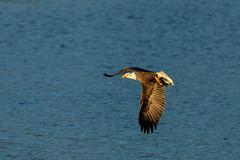 Eagle Season VIII (Beve Brown-Clark) Tags: baldeagle bird birdofprey birds nature wildlife winter ©bevebrownclark