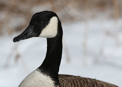 Canada Goose (George Gablenz) Tags: hallsroad birds canadagoose
