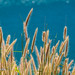 Grass by the sea                   XOKA0199bs2