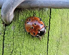 Eyed Ladybird, near Talkin Tarn, 22 February 19 (gillean55) Tags: canon powershot sx60 hs superzoom bridge camera north cumbria brampton talkintarn coleoptera coccinellidae eyedladybird anatisocellata