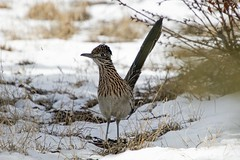 Beep Beep (Anna Gurule) Tags: roadrunner birds eldoradoatsantafe eldorado artedgy annagurule annaortizgurule animals