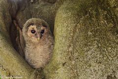 Tawny owl (Strix aluco) – puszczyk zwyczajny (tomaszberlin) Tags: polska ngc bw ng nikon poland animal bird wildlife nature birdwatching ptak d7000 tawnyowl chick puszczyk strix kopanino borykoszalińskie westernpomerania pomorzezachodnie