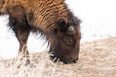 March 2, 2019 - A bison calf enjoys breakfast. (Tony's Takes)