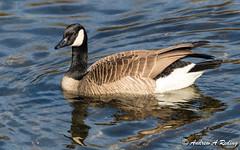 Canada goose (Andrew Reding) Tags: brantacanadensis