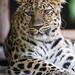 Amur leopard posing well