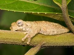 Frosch (Eerika Schulz) Tags: frog frosch ecuador puyo eerika schulz