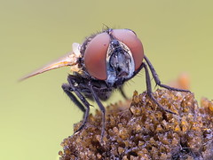 "Phasia obesa (tomaszhalota ""tomir"") Tags: carlzeissjena carl zeiss olympus omdem10markii omdem10ii stack nature phasia tachinidae fly microscope"