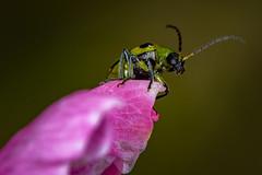 Spotted Cucumber Beetle (sethjschubert) Tags: flower spottedcucumberbeetle beetle peachblossom insect bug diabroticaundecimpunctata