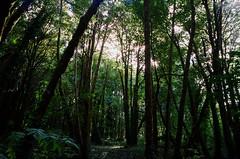Sunday (Brian McGloin) Tags: bluemooncamera brianmcgloin cascadia leica m42 or portland summicron35mmf2 film photographer photography photojournalist scans oregon staybrokeshootfilm forestpark trees tualatinmountains
