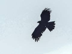 Black Eagle (Mike Prince) Tags: accipitridae aves birds blackeagle ictinaetusmalayensis india karnataka kiteshawksandeagles nandihills birdsofprey raptors