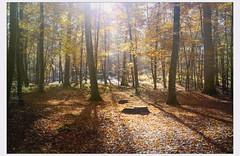 Peuple boisé (afantelin) Tags: iledefrance seineetmarne foretdefontainebleau automne arbres tronc feuilles feuillage lumière jaune