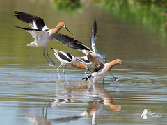 American Avocets - (P3182708-20190318 (bechtelsf) Tags: birds american avocet riparian preserve water ranch gilbert az