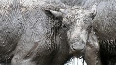 Spa Day (AmyEHunt) Tags: bison buffalo mammal animal wildlife mud water nature naturephotography illinois blackandwhite fermilab