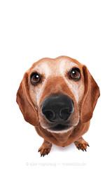 Arnie the bipod (Wieselblitz) Tags: dog dogs dogphotography dogphotographer dogportrait doginthestudio dogsonality dachshund c dachshundportrait portrait portraitpet pet pets petphotography petportrait petphotographer muppetational cute cuteness studio studioportrait studiodogportrait white whitebackground dackel teckel