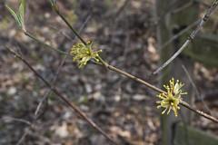Cornus mas (Cornelian Cherry) -- Cornaceae (Michael Huft) Tags: angiosperm cornaceae cornus cornusmas dicots plants