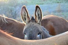 Un âne en deux chevaux (RarOiseau) Tags: 200fav animal cheval âne montagne hautesalpes sigoyer paca world100f v1500
