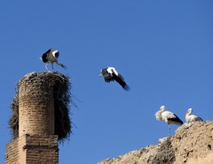 Storks, Marrakech (costarob83) Tags: birds nature blue sky flying jump marrakech storks