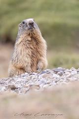 El guardián de la madriguera. (Fotografias Unai Larraya) Tags: animales mamíferos marmotas valledeordesa lospirineos fauna naturaleza salvaje montaña piedra ngc