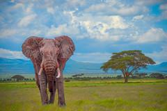 Male power (Nedko Nedkov) Tags: amboseli kenia wildlife elephant male