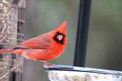 cardinal (f.tyrrell717) Tags: cardinal red bird ava pine barrens nj