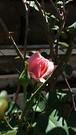 20181218_120106 (Feralysa) Tags: flor flower rosa hibisco natureza